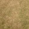 今の芝生の状況はこんな感じです!