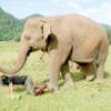 ばく逆の友!タイ人女性とアジアゾウの心温まる信頼関係