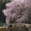 真鶴 荒井城址公園『しだれ桜の宴』は今週末が見頃かもしれません
