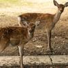 奈良公園での鹿の撮影あるある。「なんでこっち見るん!」