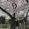 谷中の桜と思い出&コーデ