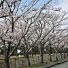 今日も桜を撮る
