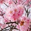 早咲きの桜とトイレットペーパー