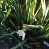 春一番を告げる水仙