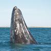 【世界遺産】コククジラに会える!エル・ビスカイノのクジラ保護区(TBS「世界遺産」2017/04/16放送)