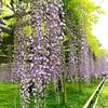 宇治・平等院へ藤の花を見に。