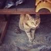 馬籠宿の古い町並みにとけこむ猫