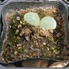 小玉スイカの発芽