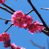 熊本市動植物園の梅