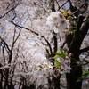 山梨桜観光