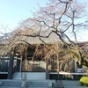 枝垂れ桜、春に向かう