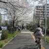 桜散歩、3月11~13日のちち飯。
