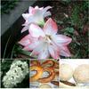 梅雨の最中、美しい姿の「アマリリス」なるほどの花言葉 🌷