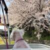 療養 そして 桜