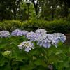 紫陽花 オールドレンズを楽しむ