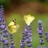 紫色のラベンダーで吸蜜するモンキチョウ