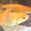 いま水槽にいるのは金魚5匹とオトシンクルス2匹。