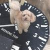 愛犬まる トイプードルのトリミング