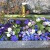 香川県西部の札所7カ寺で花手水「花めぐり」