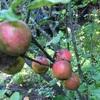 庭の木ノ実