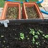 種から育てたペパーミント、全然成長してなかったけどここへ来て一気に成長した!ゆっくりでもええんやで。