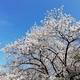 【ペットと遊ぶ】名古屋市中区:名古屋城でペットと一緒に桜まつりを楽しんできました!!