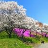 桜の見ごろがそろそろですね
