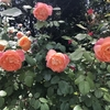バラ栽培講座(6) 12か月の栽培スケジュールと農薬の説明①