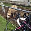 弥彦羊サイクリング 73km