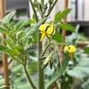 【トマト】一番花や一番実は摘み取るべき?〜収穫量を増やすためにできること〜