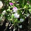 オシロイバナの花の色の不思議