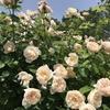 バラ栽培講座(7) 6月~7月(梅雨時期)のお世話