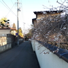 冬季のサクラ!盛岡の千手院で桜を見るかい!