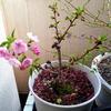 旭山の開花