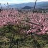 塩山桃源郷に桃の花を見に行く〜ジルも一緒にお出かけ
