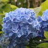 明月院ブルーに魅せられて