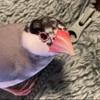 桜文鳥のココア