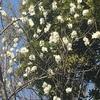 桜に似た花(*゚▽゚)ノ