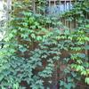 「まつこの庭」のグリーンカーテン(1)
