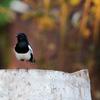 シキチョウ(Oriental Magpie Robin)