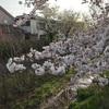 【東京散策】小金井の桜。アラフィフ、土曜の昼下がり