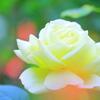 名残の秋薔薇(鎌倉文学館にて)②