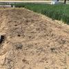 【当菜園の硬盤破砕対策】セスバニアを播種しました