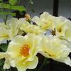 「まつこの庭」のバラの2番花