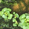 水草もさもさでも、きれいな水