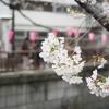 都内屈指の桜の名所「目黒川」。 新名所も加わり、昨年以上の盛り上がりぶりにビックリ!