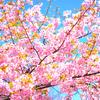 名古屋で一番早く桜が見えるスポット&桜たちを【守る】ヒーロー『桜守』の正体とは⁉︎