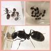 クロナガアリ♪ 新美人女王蟻