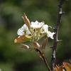 梨の花咲いた