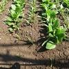 ほうれん草を追加で蒔いたら間隔狭すぎたので一回目収穫検討中